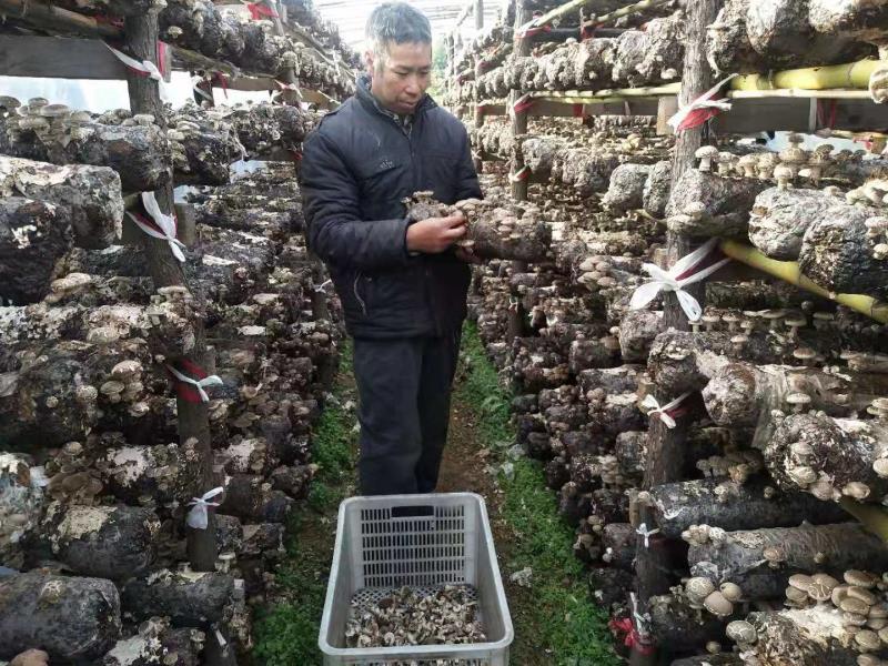 西峡县五里桥镇:香菇种植铺就贫困户致富路