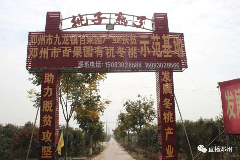硕果坠枝头 采摘正当时——邓州市九龙镇冬桃熟了